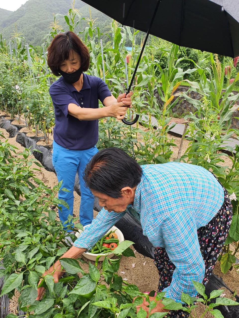 2020년 7월, 박필근 할머니가 텃밭에서 직접 기른 채소를 따고 있다 ⓒ포항여성회